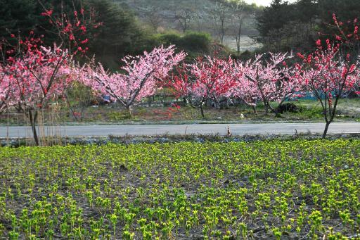 장덕리복사꽃축제